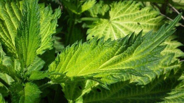 rostlina 600x338 - O jednoduché, ale efektní hnojení okurek se postará nenáviděný plevel