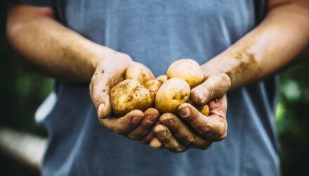 brambory 440x250 - sazenicka.cz